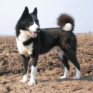 Русско-европейская лайка является породой охотничьих собак.  Вывели данную породу в лесах